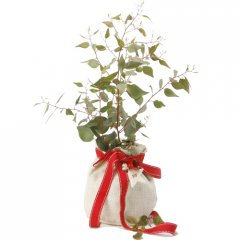 native christmas gift tree our waterwise dwarf native australian trees are suitable for a container or for the smaller suburban garden . Please Click the image for more information.