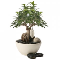x-large mature pot belly fig bonsai a bonsai is a gift for life that is used extensively in feng shui planning placed on either side of the entrance way or indoors in strategic areas. Please Click the image for more information.