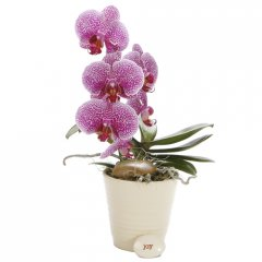 phalaenopsis orchid pot the phalaenopsis orchid is a popular indoor plant the elegant flowers make a beautiful display and last for several months at a time . Please Click the image for more information.