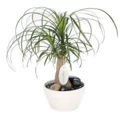 medium pony tail palm this a very popular indoor plant suitable for the home of office environment This hardy highly decorative palmlike plant does well under low light conditions and can survive long periods without waterinclude. Please Click the image for more information.