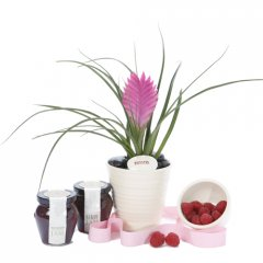 pink quill gourmet gift  the pink quill bromeliad is a popular indoor plant the striking large vibrant pink quill makes a picturesque display and last for several months at a timei. Please Click the image for more information.