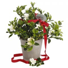 christmas gardenia provencal pail loved for their wonderful perfume gardenias are hard to resist gardenias are small evergreen shrub that produce pearlwhite blooms with a heavenly perfumeour g. Please Click the image for more information.