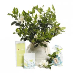 fragrant mozi gardenia gift loved for their wonderful perfume gardenias are hard to resist gardenias are small evergreen shrub that produce pearlwhite blooms with a heavenly perfumeour g. Please Click the image for more information.