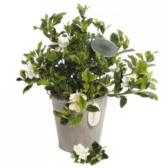 gardenia provencal pail loved for their wonderful perfume gardenias are hard to resist gardenias are small evergreen shrub that produce pearlwhite blooms with a heavenly perfumeour g. Please Click the image for more information.