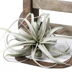 tillandsia xerographica air plant air plants dont require soil to grow only moderate light and a good soak every weekvery lowmaintenance Beautif. Please Click the image for more information.