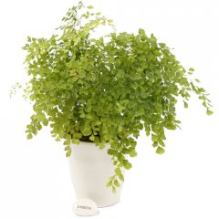 large maidenhair fern  the maidenhair is a popular fern characterized by graceful fronds of fresh green leaflets the new growth is often bronze or pink . Please Click the image for more information.