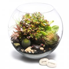 X large lucky money tree terrarium  the money tree is a popular plant used in feng shui planning the leaves are thick and coin like and if growing well symbolize wealth coming into the home or businessBea. Please Click the image for more information.