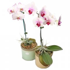 phalaenopsis orchid crackle pot the phalaenopsis orchid is a popular indoor plant the elegant flowers make a beautiful display and last for several months at a time . Please Click the image for more information.