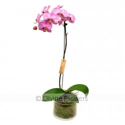Phalaenopsis Orchid Plant (large)  Priced from $ 89  Click for more details