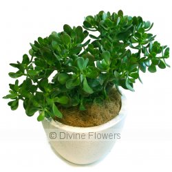 Jade Crassula Ovata  Priced from $ 59  Click for more details