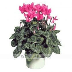 Cyclamen Plant  Priced from $ 56  Click for more details